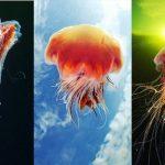 Photography Jellyfish